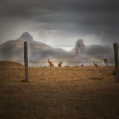 a few roos loose in the top paddock (Fat Burns) Tags: rememberthatmomentlevel4 rememberthatmomentlevel1 rememberthatmomentlevel2 rememberthatmomentlevel3 rememberthatmomentlevel5 vigilantphotographersunite vpu2 vpu3 vpu4 vpu5 vpu6 vpu7 vpu8 vpu9 vpu10