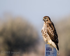 Sign Sitting (mwbergeron01) Tags: sign henry raptor redtailhawk nationalwildliferefuge nwr ridgefieldwildliferefuge avianexcellence rnwr