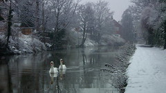 Snow swans (D. Kane) Tags: uk england white snow cold ice water canal swan widescreen freezing chester swans snowing hd amateur mute cygnusolor danielkane fujihs10