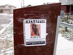 Harlem has been CATNAPPED (haunted snowfort) Tags: pet ontario canada sign female mailbox cat missing kitten feline harlem niagara lincoln beamsville catnapped canadapostmailbox