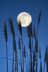 Full Moon Feather Fluffer (Lee Sie) Tags: blue sky moon plant nature grass silhouette feather full pampas cortaderiaselloana