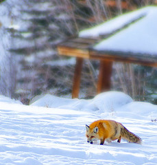The Stalker! (Aspenbreeze) Tags: winter snow nature animal rural wildlife country fox wildanimal redfox wildfox coloradowildlife aspenbreeze photographyforrecreation bevzuerlein