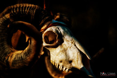 The Guardian (dcimageforge (Danny Collado PixelWorks Photography) Tags: portrait southwest animals skull scary nikon flickr indian north horns sigma northcarolina headshot bones carolina 28 ram 70200 2012 d800 200mm 2013 pixelworks dcimageforge dannycollado