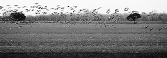 I pi deserti Campi (bebo82) Tags: trees blackandwhite bw birds alberi pentax uccelli fields biancoenero campi pentaxk20d pentaxk20 fpetrarca