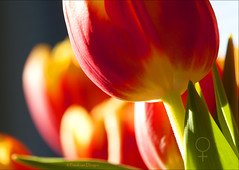 Tulips for Int. Women's Day 2013 (mrtungsten62-ON/OFF) Tags: flower macro canon europe dof tulips bokeh tulip internationalwomensday iwd mrtungsten62 frankvandongen