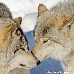 DSC_9540 (Maxime Riendeau) Tags: winter snow canada wolf quebec timber hiver qubec loup neige parcomega greywolf omegapark loupgris parcomegahiver201213