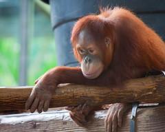 IMG_0306 (Mary Susan Smith) Tags: christmas vacation toronto mammal zoo furry superhero orangutan ape juvenile primate captivity torontozoo gamewinner cy2 challengeyouwinner 3waychallengewinner cychallengewinner gamex2winner herowinner ultraherowinner gamex3winner pregamewinner