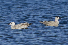 HERRING GULL on Left - ICELAND GULL on Right (nsxbirder) Tags: ohio immature larusargentatus herringgull icelandgull 2ndwinter caesarcreekstatepark harveysburg