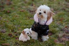 Lilli (CamillaKorsnes photography) Tags: portrait dog pet cute animal teddy adorable maltepoo sigma150mm canon5dmarkii