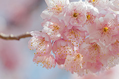 Mountain of cherry blossoms #2 (SYU*2) Tags: pink flowers blue light sky flower color green beautiful yellow japan cherry photography nikon soft bokeh blossoms bluesky     d300s