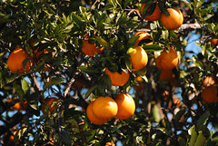 Oranges in the Grove (scridgeway1) Tags: tree fruit florida wildlife foliage sarasota citrus oranges orangetree