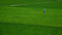 Woman working the rice field, Vietnam
