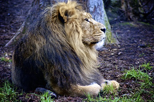 Lion, Chester Zoo