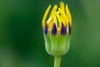 Unidentified South African Flower (Tōn) Tags: california flower berkeley unitedstates botanicalgarden naturemacro southafrican ucbotanicalgardenatberkeley tonyvanlecom