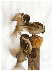 20130217. The dance of the sparrows. 9456. 1. (Tiina Gill (busy)) Tags: winter bird nature movement estonia creative sparrow slowshutterspeed