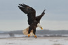 """An Angel's Descent"" (PeterBrannon) Tags: snow canada landscape novascotia eagle flight farmland landing snowfall birdwatcher talons 2013 raptorsinflight eagleinsnow allofnatureswildlifelevel1"
