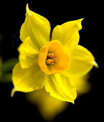 For My Mother (Theresa Elvin) Tags: flower macro yellow memorial ngc celebration mum daffodil mothersday motheringsunday supershot coth5 sunrays5
