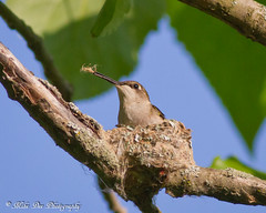 Ruby-throated Hummingbird (female) (claybuster1(doing good just very busy)) Tags: birds female hummingbird nest michigan ruby hummer mb 2012 nesting rubythroatedhummingbird 52012