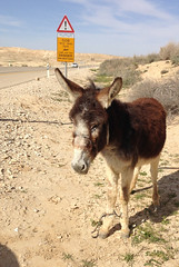 Abandoned injured donkey in the middle of the desert. (Eldad Hagar (Please support Hope For Paws)) Tags: burro jumento burrico burrinho domkey