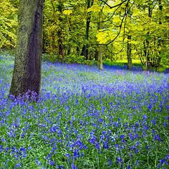 High Hopes (fifich@t ~ busy,offline for now) Tags: blue france flower tree primavera nature fleur landscape spring woods flora ngc bluebell arbre iledefrance shining printemps baum frhling gettyimage photomix sousbois hauts