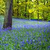 High Hopes (fifich@t - OFFforever) Tags: blue france flower tree primavera nature fleur landscape spring woods flora ngc impressionism bluebell arbre iledefrance shining printemps baum frühling gettyimage photomix sousbois hautsdeseine foreverandever hyacinthoidesnonscripta jacinthedesbois lr4 thegrasswasgreener nikond300 deathknell nikkor1685vr boisdemeudon thelightwasbrighter bestcapturesaoi magicunicorntheverybest magicunicornmasterpiece magicunicornmasterpieces elitegalleryaoi featuredfrontpagewinners fifichat1 kurtpeiserexcellence ©frs fificht ©frs