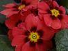 Primel (Gartenzauber) Tags: primula primrose floralfantasy thegalaxy perfectpetals amazingdetails saariysqualitypictures hennysgardens silveramazingdetails pazziperifiori top25naturesbeauty