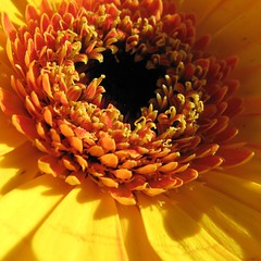 Fr Franziskus I.  Dedicated to our BISHOP of Rome 'FRANCISCUS'  (eagle1effi) Tags: city flowers autumn flower macro fall automne canon germany deutschland colorful flickr kunst herbst blumen super powershot gerbera fiori blume edition fiore supermacro autunno tuebingen sup erwin sx1 tbingen franziskus otono tubingen masterclass onexplore wrttemberg badenwuerttemberg canonmacro views500 views100 views200 views400 views300 tubinga i cclizenz effinger regionstuttgart eagle1effi ishotcc top20yellow yellowcanon naturemasterclass byeagle1effi yourbestoftoday artandexpression canonpowershotsx1is effiart canonsx1 supermacroon2  canonsx1ispowershot