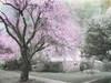 The Arrival of Spring series (Nick Kenrick..) Tags: pink spring blossom sakura cherrytree selective hami sakurahanami tatot
