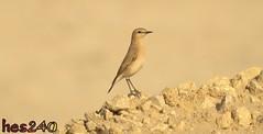 Female Wheatear 01 (hes240) Tags: bird birds female wheatear isabelline أنثى الفقاقة الأبلق