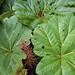 Le grandi foglie delle piante sul vulcano Poas