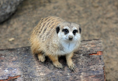 Meerkat (Suricata suricatta) (warriorwoman531) Tags: park animal tampa mammal zoo meerkat conservation mongoose suricate suricatasuricatta zoological tampalowryzoo