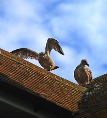 When On a Roof Young Gulls Can Feel All at Sea! (antonychammond) Tags: roof sky seagulls birds gulls potofgold supershot thegalaxy mygearandme rememberthatmomentlevel1 magicmomentsinyourlifelevel1