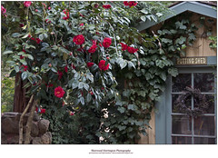 Camellias and Potting Shed (Sherwood Harrington) Tags: shed ivy redwood camellia potting fortharrington