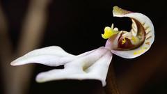 DisperisFH2_0270 20130323 1137 tripetaloïdes (evideerf2002) Tags: nature réunion wildorchid orchidéesauvage disperis