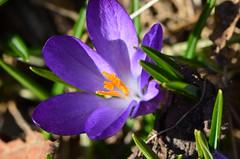 Frhling ... (deta k) Tags: berlin deutschland germany blumen blten flora flowers frhling natur pflanzen nikond5100 macro krokusse sooc