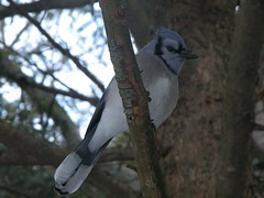 Bluejay (Grayling Visitors Bureau) Tags: grayling hartwickpinesstateparkbird