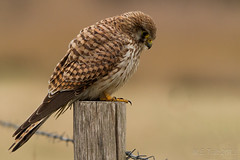 Concentration @ Common kestrel (Marcel Tuit) Tags: holland bird me nature canon de eos nationalpark wildlife nederland thenetherlands 7d predator birdofprey vogel biesbosch noordbrabant falcotinnunculus torenvalk commonkestrel roofvogel nationaalpark natuure marceltuit