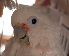 IMG_5352 (ReverieRevel) Tags: pet bird parrot boo cockatoo wetbird wetpet goffinscockatoo wetparrot