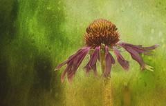 Echinacea Slider (Caroline.32) Tags: echinacea garden flower texture happyslidersunday slidersunday nikond3200 55300mmlens