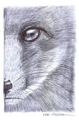 zorro a lapicero (ivanutrera) Tags: zorro fox animal wild wildlife lapicero pen boligrafo draw dibujo drawing dibujoenboligrafo dibujoalapicero drawballpointpen sketch sketching