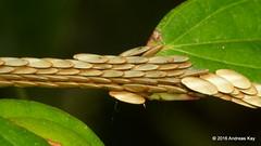 Katydid eggs (Ecuador Megadiverso) Tags: andreaskay ecuador egg katydid orthoptera tettigoniidae