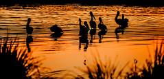 Last-light_DSC5758 (Mel Gray) Tags: eleebana lakemacquarie sunset pelicans birds water lake nature urbannature