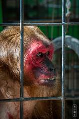 Grumpy (svenpetersen1965) Tags: macacaarctoides stumptailedmacaques cage grumpy monkey moody redface kosamui changwatsuratthani thailand th