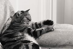 Quasi assonnato (DADAEOS) Tags: biancoenero animali gatto tigrato tigro felino divano riposo zampe