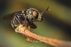 (rghisi) Tags: mosca macro inseto bug