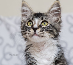 Colby 1 (Brian Snowden Photography) Tags: kitten young cat feline kitty kitteh adorable cute fluffy mainecoonadoptions adoption rescue playful pentaxk3 pentaxda55