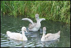 Swans family. (Jordy5834) Tags: schwne zwanen swans zwanenfamilie