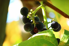 Grapes growing (serra88) Tags: nature italy countryside natura verde green grapes uva pomodoro insetti insect