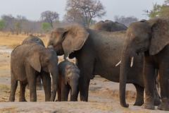 The Family (Hector16) Tags: africa makaloloconcession safari linkwashaconcession hwange littlemakalolocamp 2015 zimbabwe littlesomavundhlapan matabelelandnorth zw