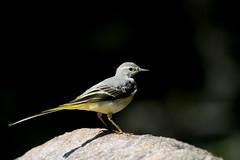 bergeronnette des ruisseaux ( Motacilla cinerea ) Brech 160822n2 (papé alain) Tags: oiseaux passereaux motacillidés bergeronnettedesruisseaux motacillacinerea sedgewarbler morbihan bretagne france brech